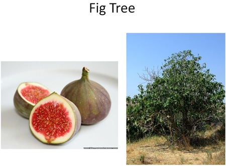 Fig Tree and Fruits